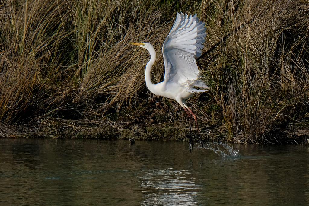 White heron, great egret, kotuku by maureenpp