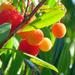 Kousa Dogwood Fruit by seattlite