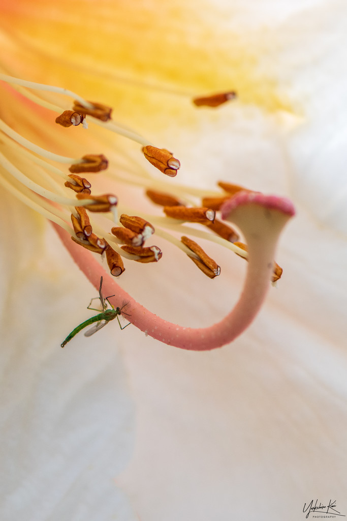 Rhododendron stamens by yorkshirekiwi