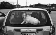 3rd Oct 2019 - Dogs in cars