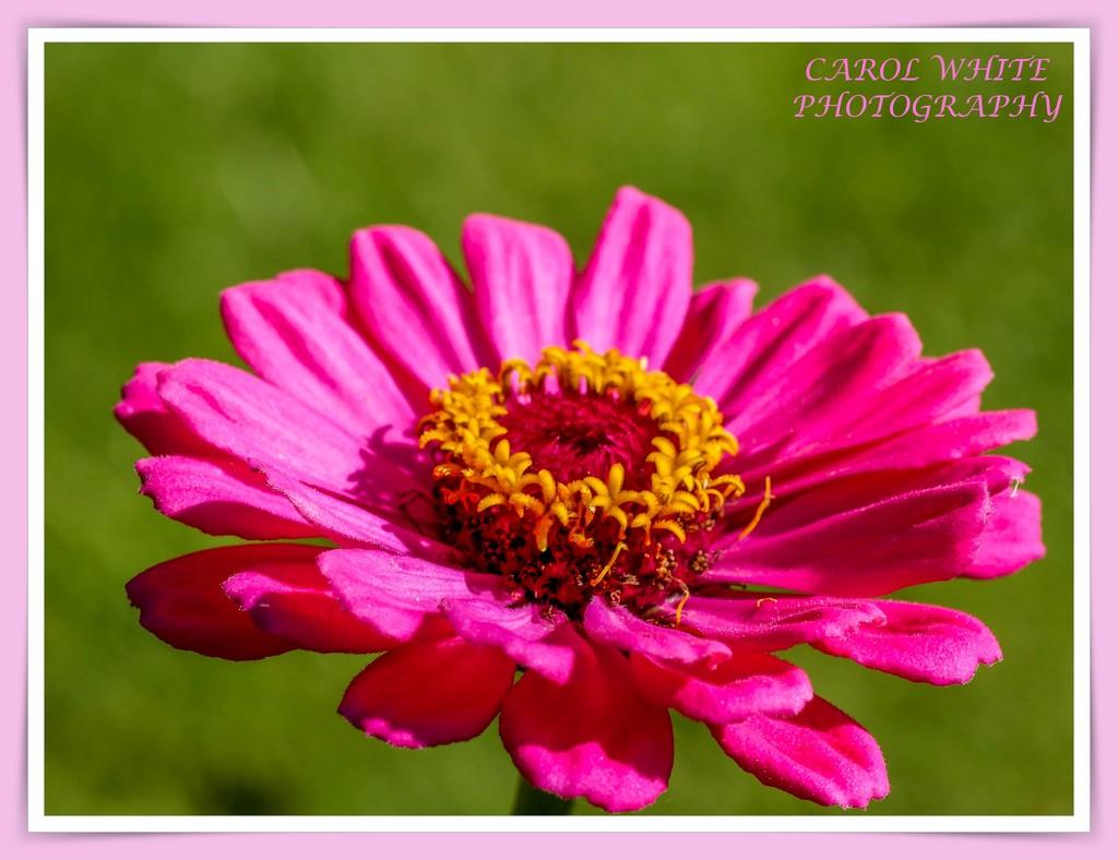 Anemone by carolmw