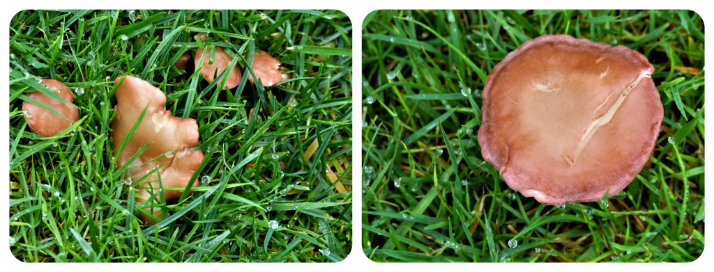 Fungi in the lawn  by beryl