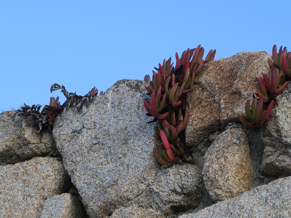 Ice Plant by april16
