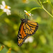 Did Manage to Get a Monarch Butterfly Today! by rickster549