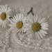 Daisy Day by brigette