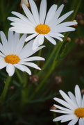 4th Oct 2019 - Daisies