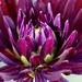 Dahlia by carole_sandford