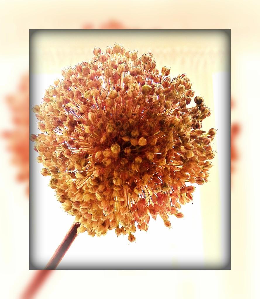 Alium seedhead by beryl
