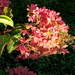 Hydrangea blossoms in the evening light  by bruni