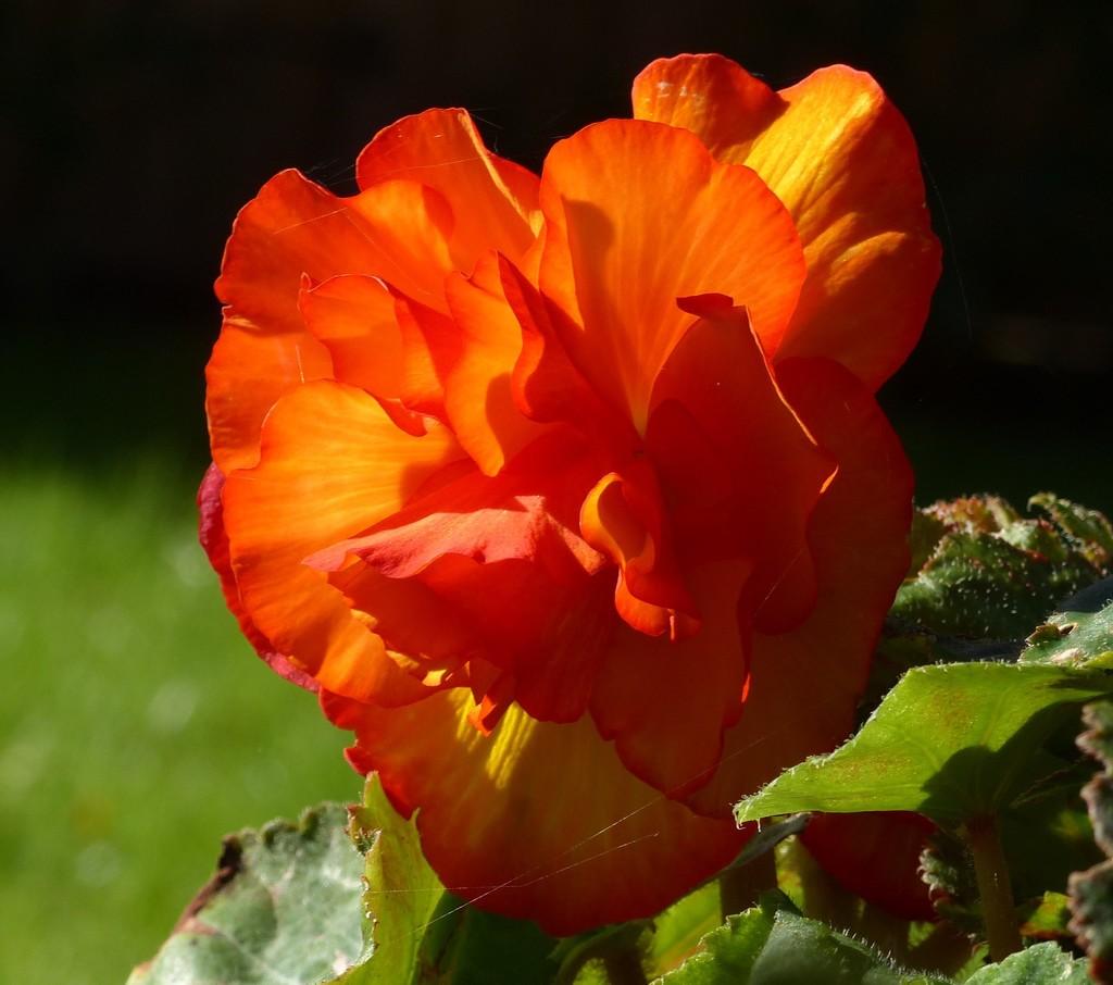 Begonia  by susiemc