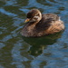 immature pied billed grebe