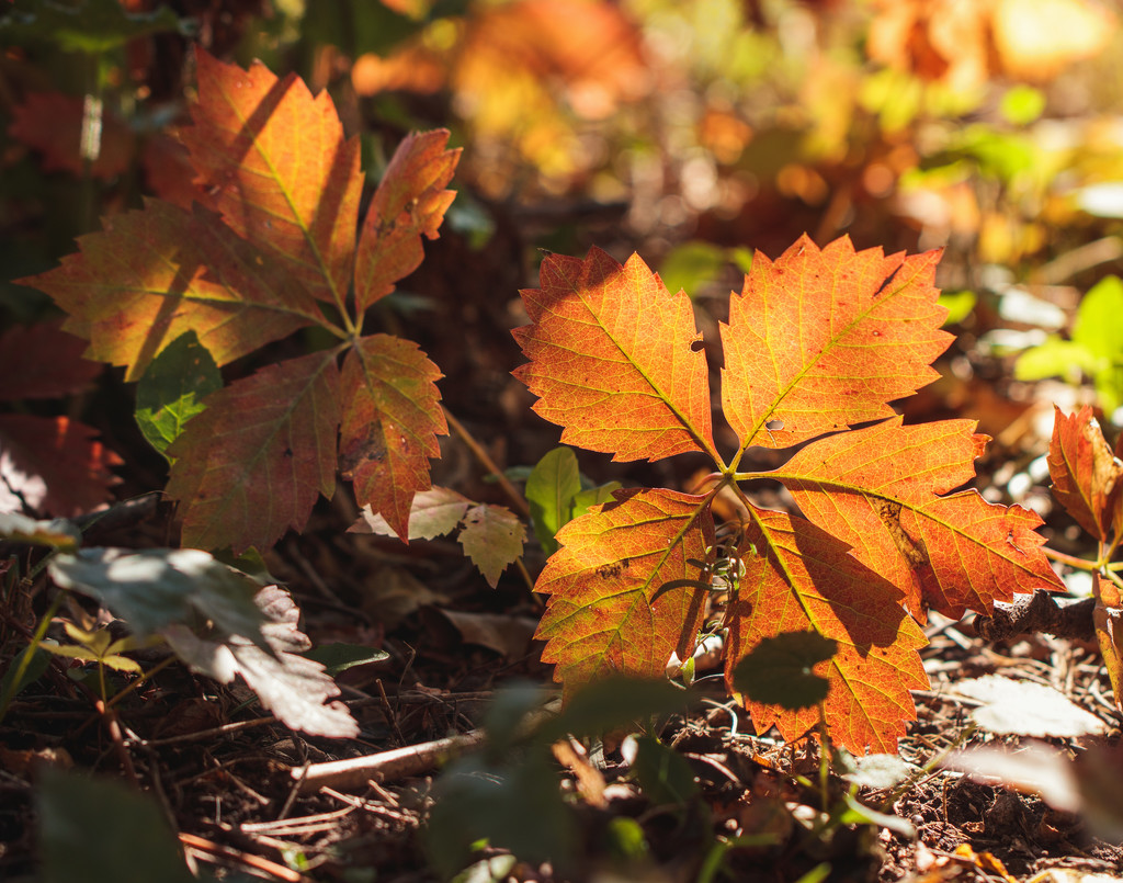 backlit leaves by aecasey