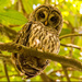 Barred Owl Giving Me the Eye! by rickster549