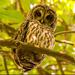 Barred Owl Giving Me the Eye!