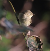 6th Oct 2019 - Willow Warbler