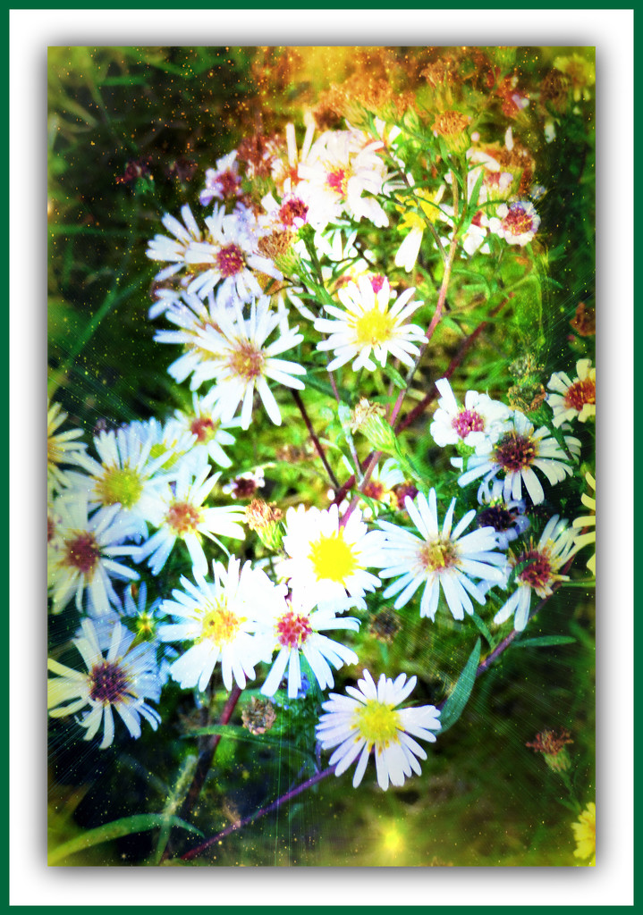 Michaelmas Daisies  by beryl