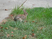 6th Oct 2019 - Rabbit in Neighbor's Yard