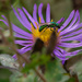 Pure Green Sweat Bee on New England Aster