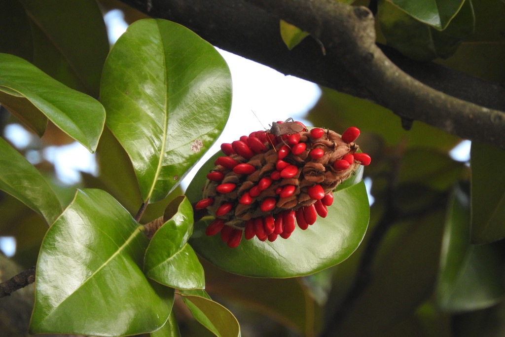 Magnolia fruit and seeds (and bug) -old Nikon by homeschoolmom