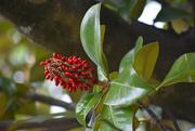 6th Oct 2019 - Magnolia fruit bursting with seeds -new Nikon