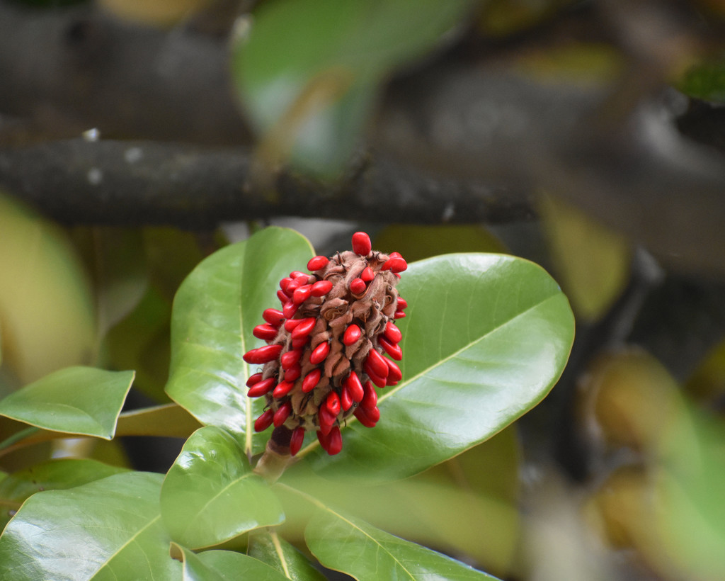 Magnolia fruit and seeds -new Nikon by homeschoolmom