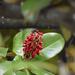 Magnolia fruit and seeds -new Nikon