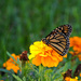 Monarch butterfly by larrysphotos