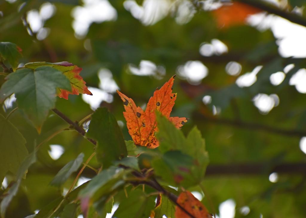 Autumn Leaf by homeschoolmom