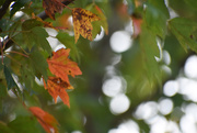 7th Oct 2019 - Leaf Bokeh