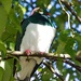 Kereru in the trees