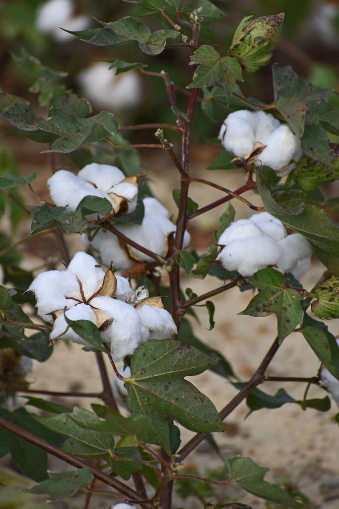 Cotton in full bloom by homeschoolmom