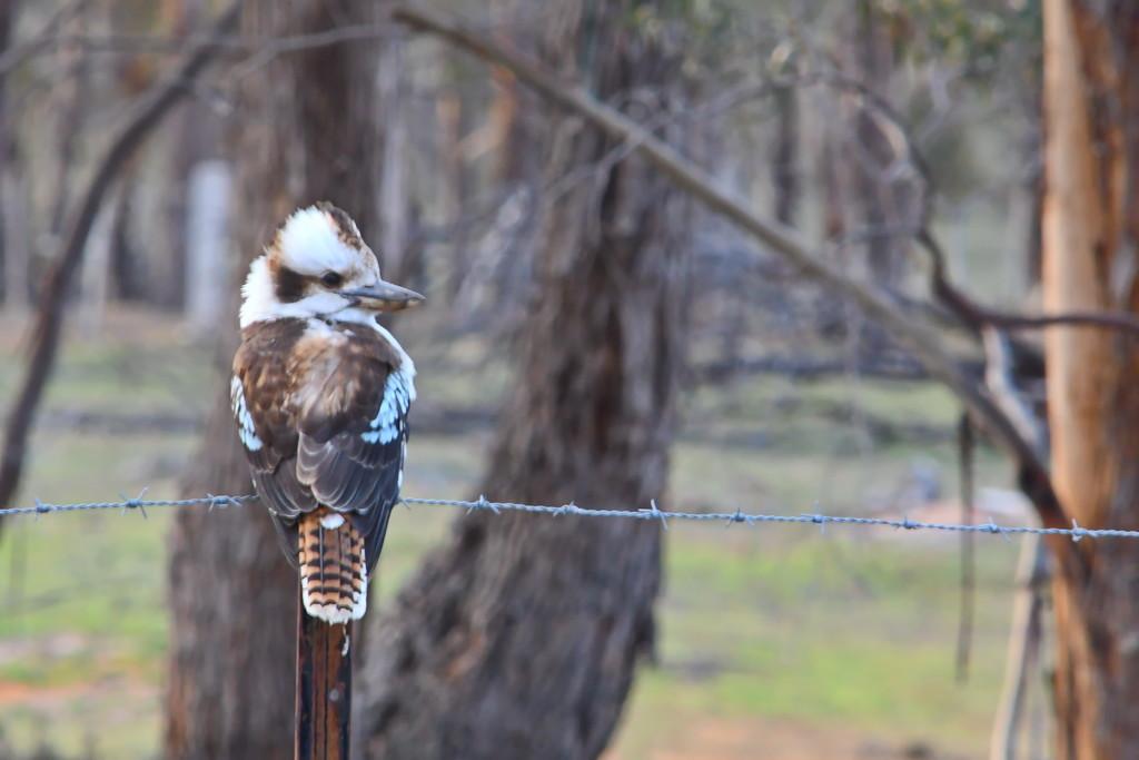 Kookaburra  by kgolab