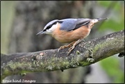 8th Oct 2019 - RK3_2441  Today's nuthatch