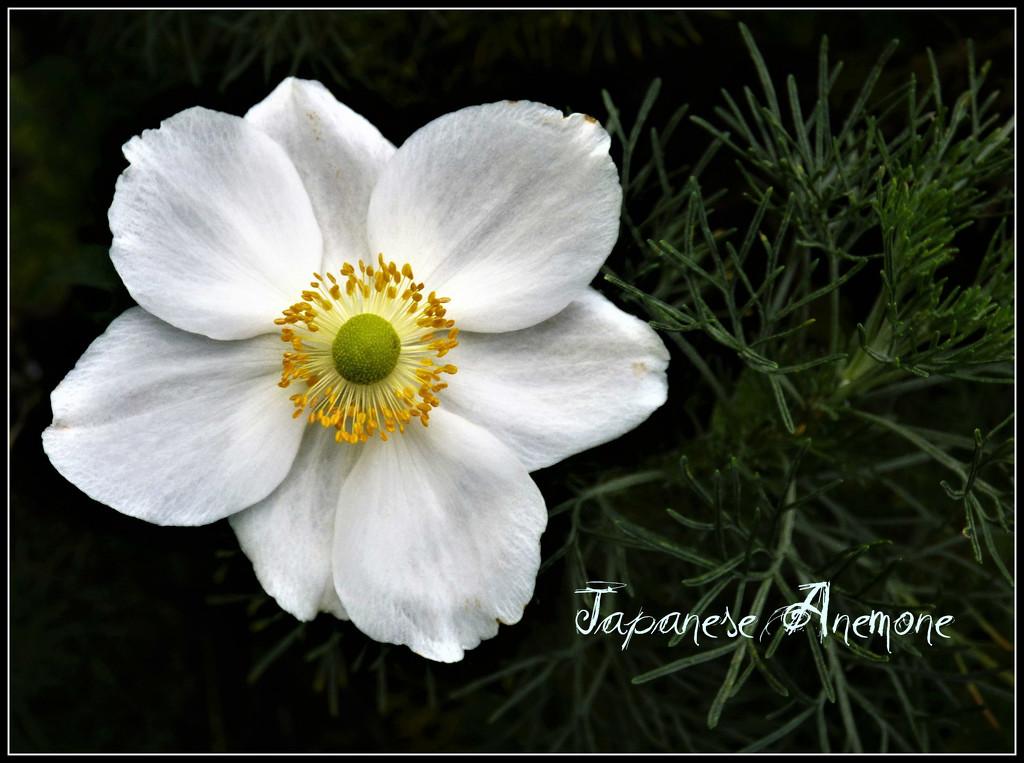 Japanese Anemone  by beryl