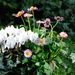 Cyclamen and daisies
