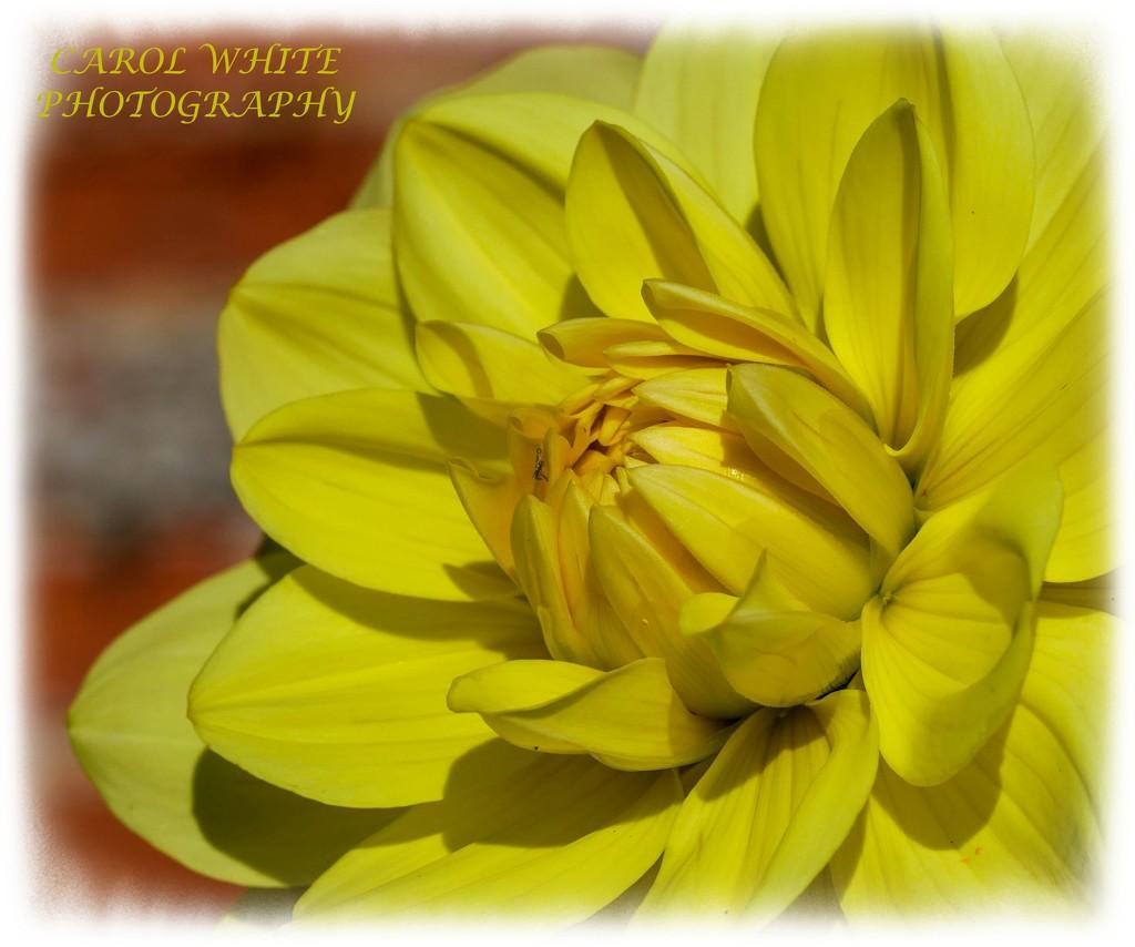 Dahlia by carolmw