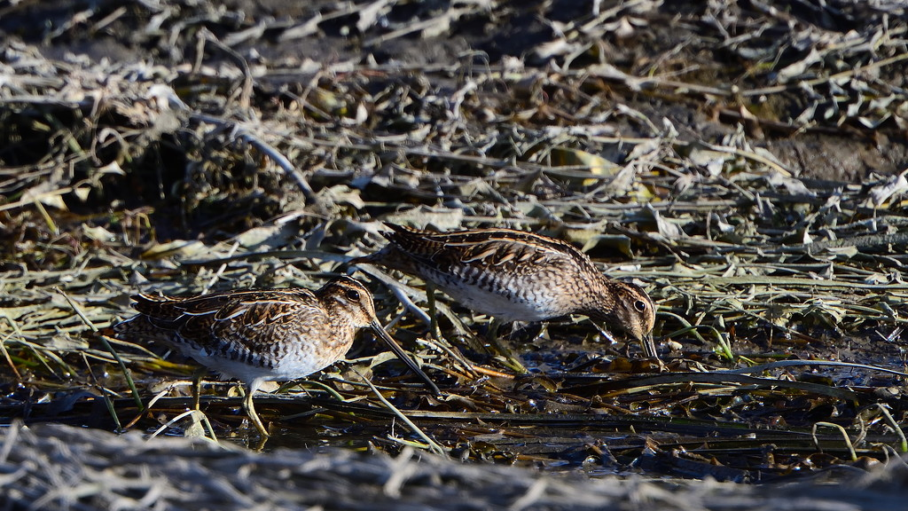 common snipe by mjalkotzy
