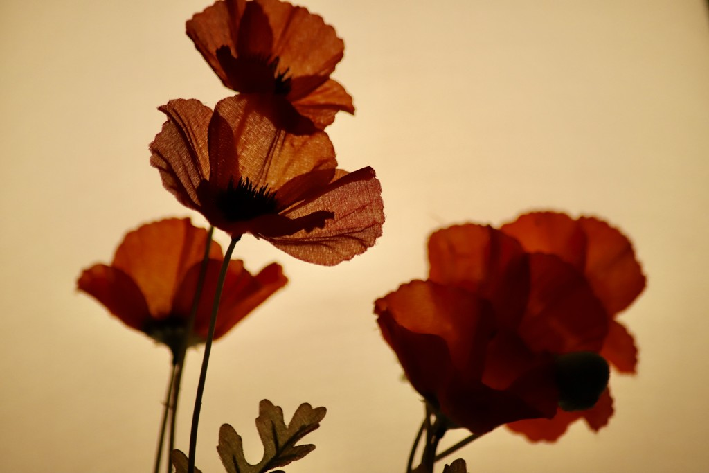Evening Poppies 2 by carole_sandford