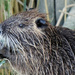 South American Coypu