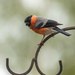 Mr. Bullfinch