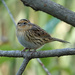 Migrating LeConte's Sparrow