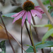 purple coneflower