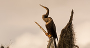 8th Oct 2019 - Anhinga Looking Over the River!