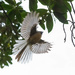 Fantail in flight