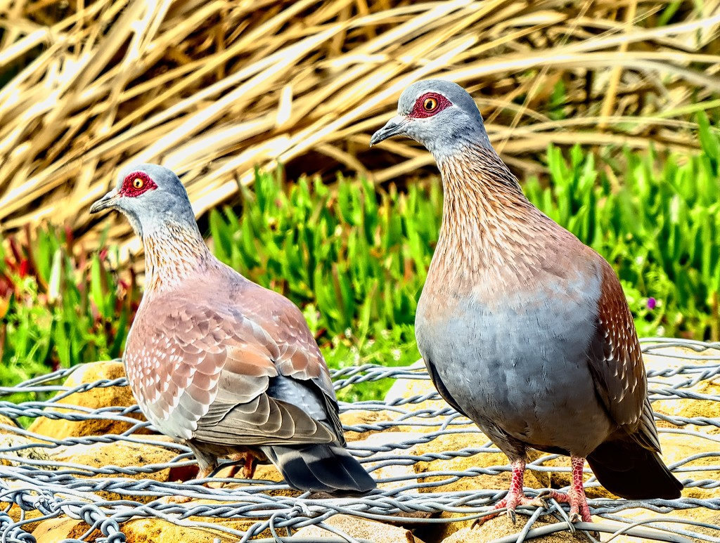 Speckled Pigeons  by ludwigsdiana