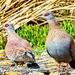 Speckled Pigeons