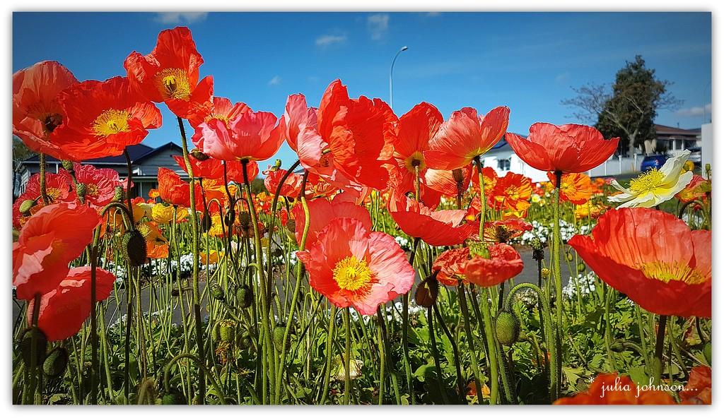 Poppies  ... by julzmaioro