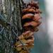 Velvet foot mushrooms