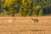 9th Oct 2019 - Antelope family