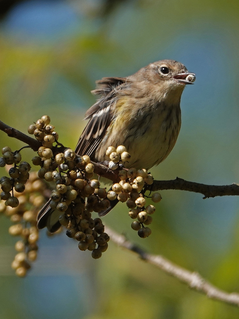 Migrating Yellow-rumped Warbler by annepann